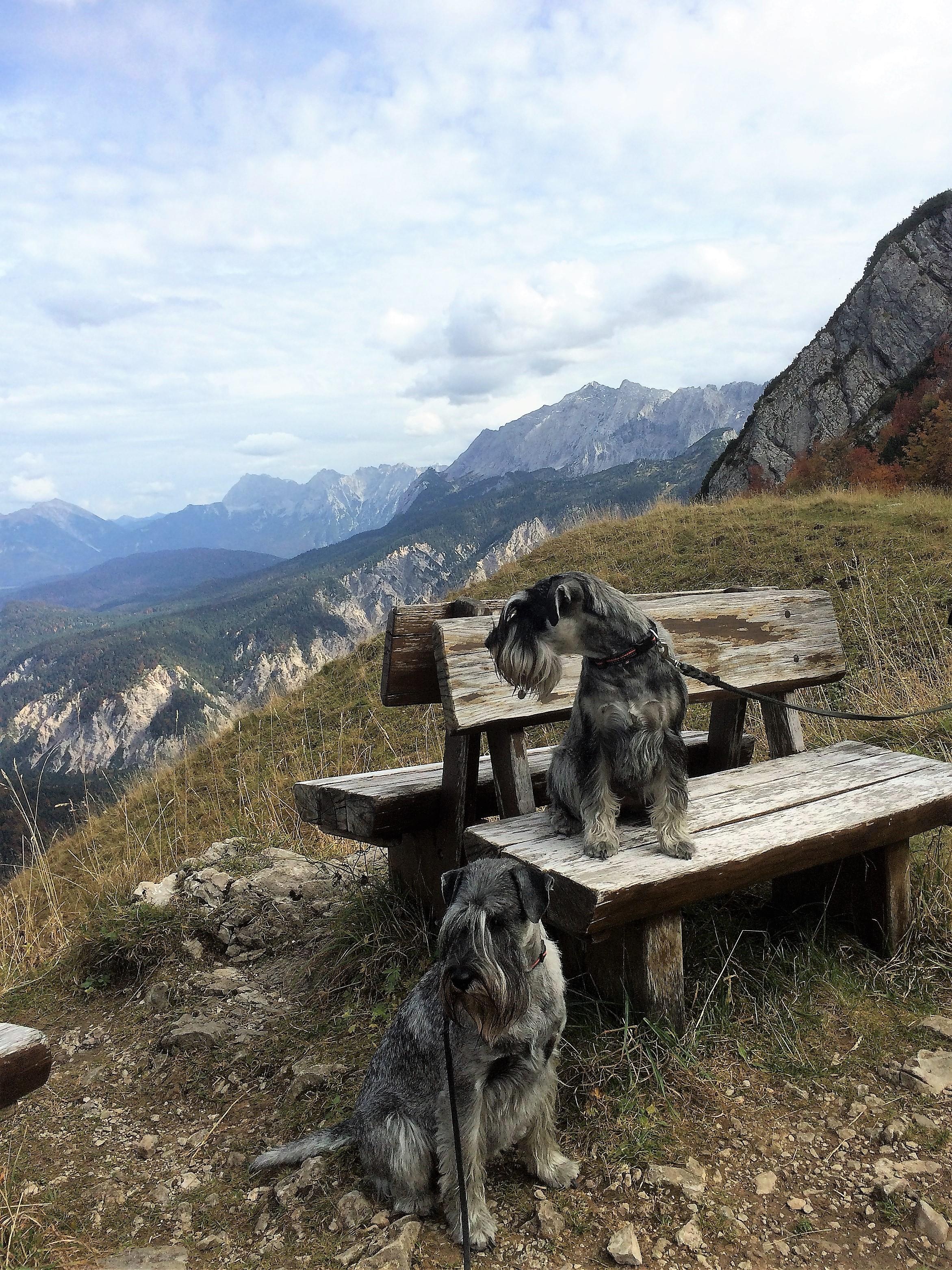 Mittelschnauzer in den Bergen