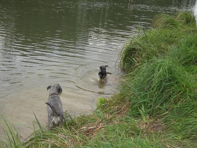 Schnauzer Fynja lernt schwimmen