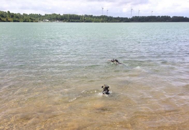 Schnauzer baden im Blausteinsee