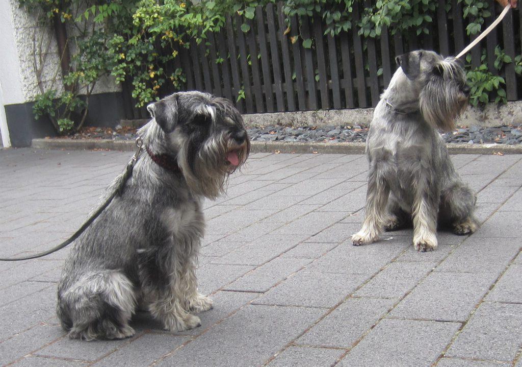 Mittelschnauzer Itschy und Max